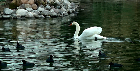 Swan Floating on the Lake