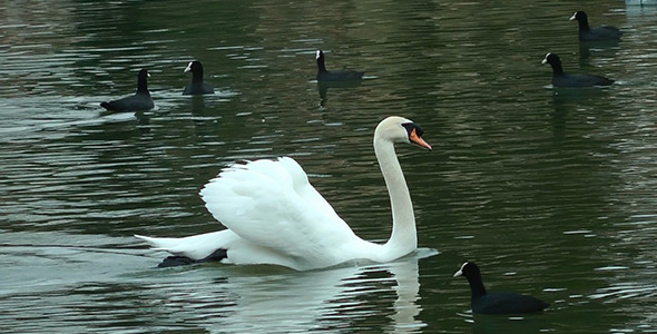 Swan Floating on the Lake 2