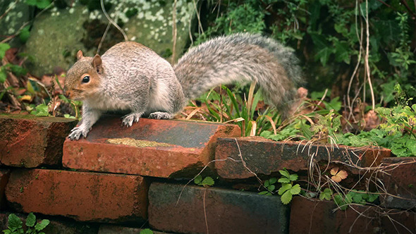Squirrel Jumps Over Garden Wall