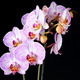 Phalaenopsis orchid branch isolated on black - PhotoDune Item for Sale