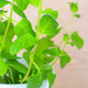 Potted fresh green Mint branches closeup - PhotoDune Item for Sale
