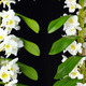 White Dendrobium orchid branches isolated on black - PhotoDune Item for Sale