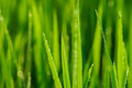 rice plant in rice field - PhotoDune Item for Sale