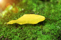 Yellow leaves on moss. - PhotoDune Item for Sale