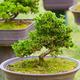 green bonsai trees - PhotoDune Item for Sale
