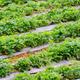 strawberry field - PhotoDune Item for Sale