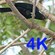 Asian Koel (Eudynamys scolopaceus) 01 - VideoHive Item for Sale