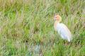 Cattle Egret birds - PhotoDune Item for Sale