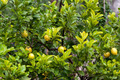 lemon tree.  Bunch of ripe lemons - PhotoDune Item for Sale