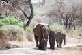 African elephant family walking - PhotoDune Item for Sale