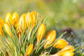 crocus yellow in the morning frost - PhotoDune Item for Sale