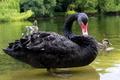 Black Swan in Royal Gardens of London - PhotoDune Item for Sale