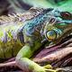 Lizard - PhotoDune Item for Sale