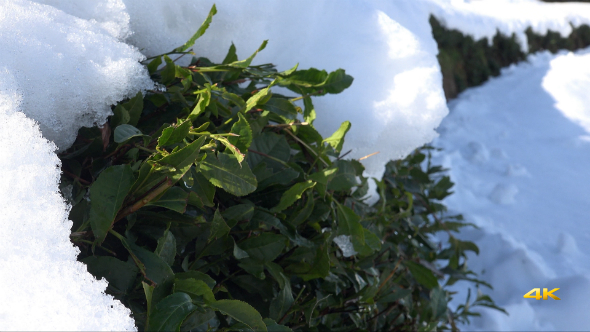 Snow on Green Tea Plantations 1