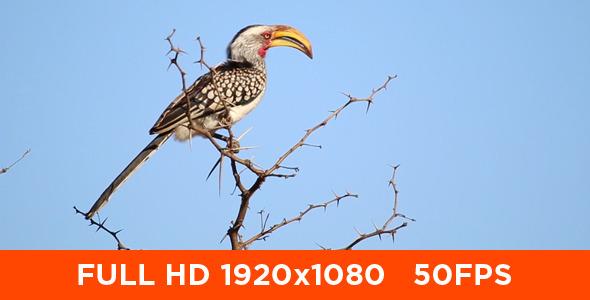 African Hornbill in Tree