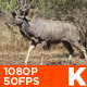 African Male Kudu - VideoHive Item for Sale