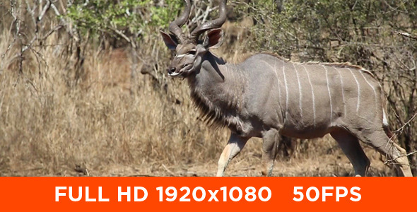 African Male Kudu