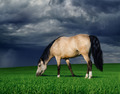 Arabian Pony on a meadow before a thunder-storm - PhotoDune Item for Sale