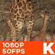 Giraffe Mother with Baby - VideoHive Item for Sale