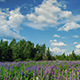 Blooming Lupine Flowers - VideoHive Item for Sale