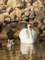 Swan with little baby swans - PhotoDune Item for Sale