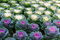Colorful Ornamental cabbage in the garden - PhotoDune Item for Sale