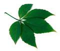 Green virginia creeper leaf on white background - PhotoDune Item for Sale