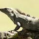 Iguana Mexico Wildlife 1 - VideoHive Item for Sale