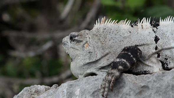 Iguana Mexico Wildlife 22