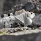 Iguana Mexico Wildlife 26 - VideoHive Item for Sale