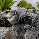 Iguana Mexico Wildlife 27 - VideoHive Item for Sale