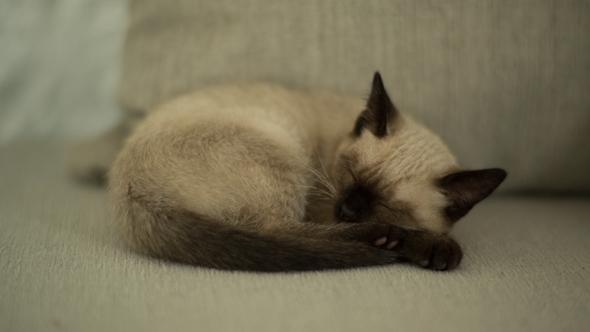 Siamese Cat Sleeping 1