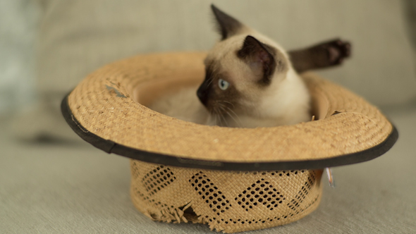 Siamese Cat Plays Inside A Hat 3