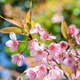 thailand Sakura pink flower in ChiangMai, Thailand - PhotoDune Item for Sale