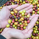 coffee beans on agriculturist hand - PhotoDune Item for Sale