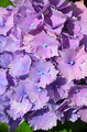 Purple hydrangea flowers - PhotoDune Item for Sale