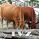Brown Cows - VideoHive Item for Sale