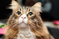 Maine Coon Cat Looking Very Interested - PhotoDune Item for Sale