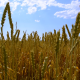 Wheat Field 1 - VideoHive Item for Sale