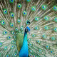 peacock showing its beautiful feathers - PhotoDune Item for Sale