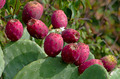 Ripe fruits of prickly pear - PhotoDune Item for Sale