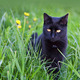 Black cat in the grass - PhotoDune Item for Sale