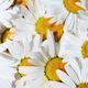 Chamomile background - PhotoDune Item for Sale