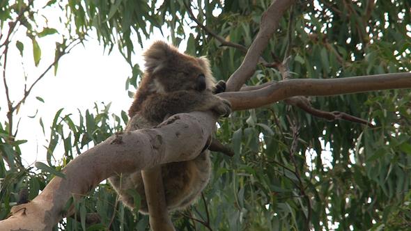VideoHive Koala 013 10256843