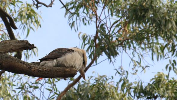 Kookaburra 01