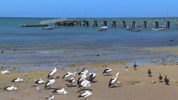 VideoHive Black Swans 021 10256943