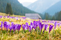 Crocus on a green meadow in spring - PhotoDune Item for Sale