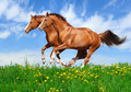 Two Sorrel Horses Gallop - PhotoDune Item for Sale