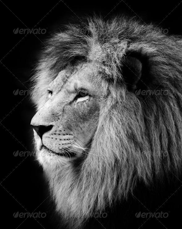 Stock Photo - PhotoDune Lion 1041619