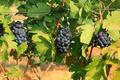Grape bunch on the vine - PhotoDune Item for Sale